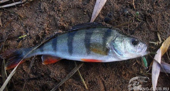 Ловля окуня осенью на спиннинг: секреты и тонкости рыбалки
