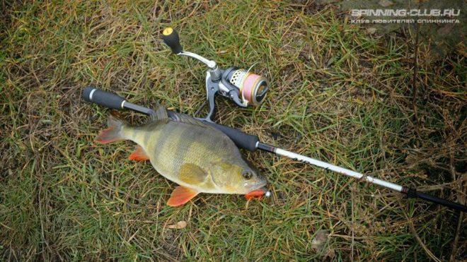 Как ловить окуня на спиннинг: особенности, секреты и тонкости