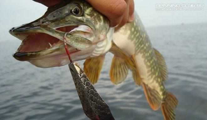 Как ловить щуку на колебалку: тонкости и нюансы ужения