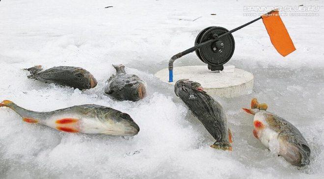 Ловля окуня на жерлицы зимой – правильный подход