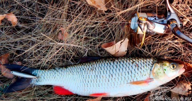 Голавль на спиннинг осенью — особенности и тактика ловли