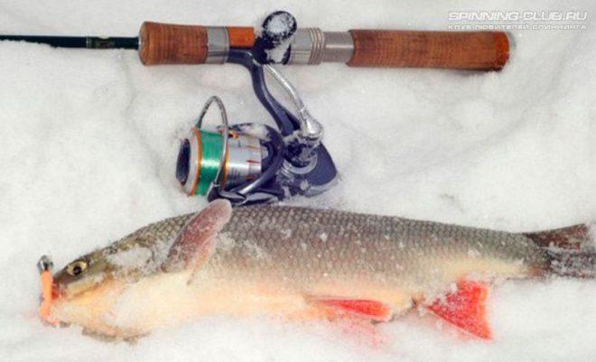 Ловля язя зимой — советы рыбалову