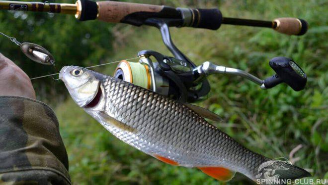 Особенности рыбалки на голавля при ловли на спиннинг