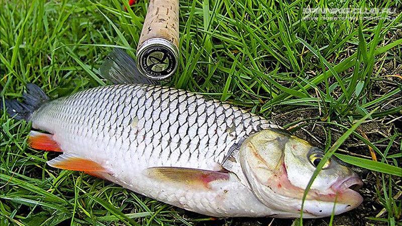Ловля голавля на спиннинг на реках и озерах летом весной и осенью