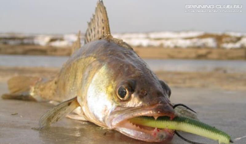 Ловля щуки на отводной поводок видео — Здесь рыба