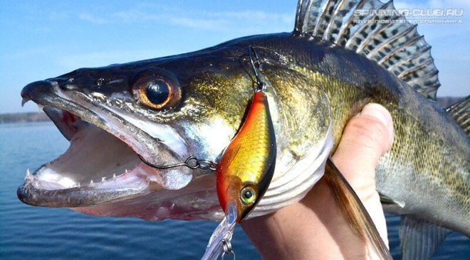 Как ловить судака на воблеры по открытой воде