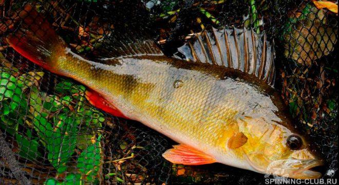 Окунь в октябре на спиннинг — учимся правильно ловить