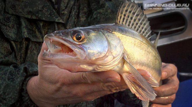 Ловля судака на живца: все тонкости рыбалки