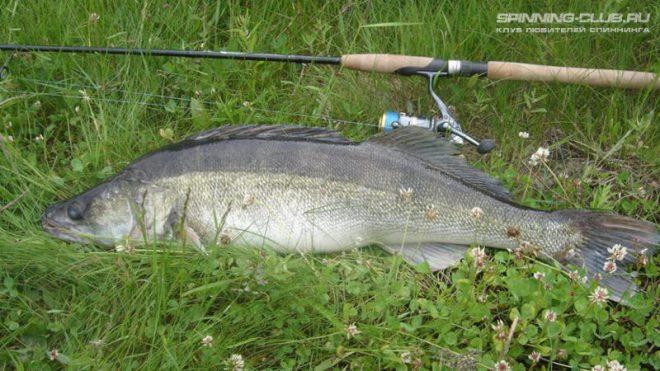 Как ловить судака летом на спиннинг в дневное и ночное время